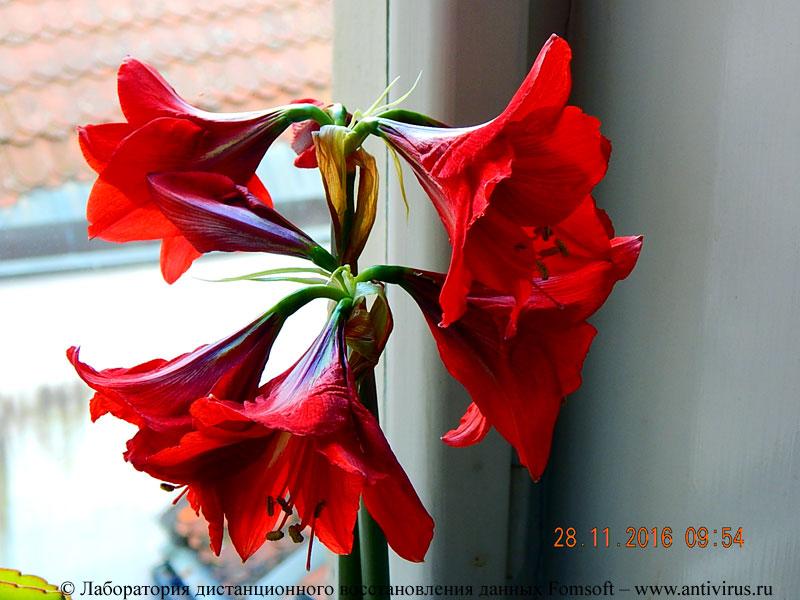 Как называется цветок с цветами граммофонами