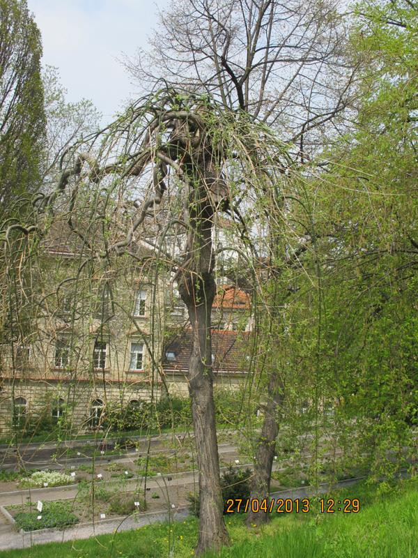 Дерево со свисающими ветками
