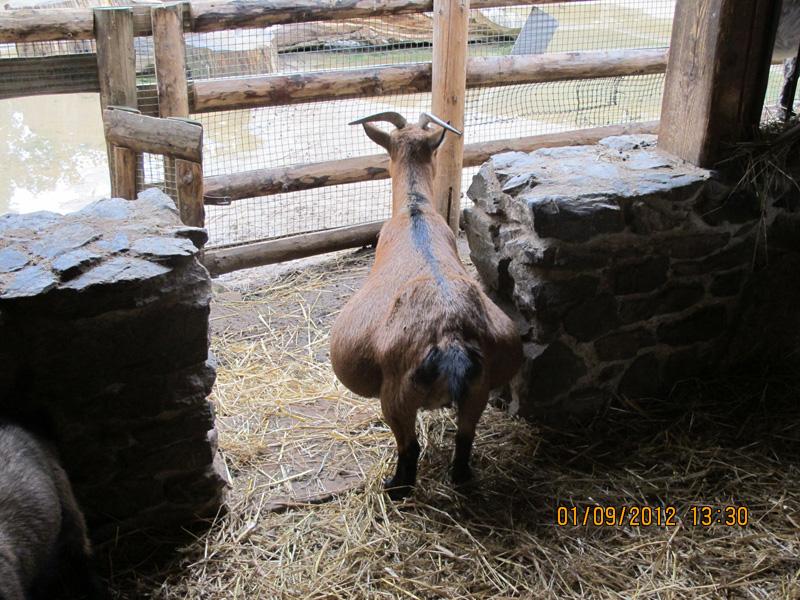 Туры в Прагу, Фото зоопарка август 2012. Беременная коза.